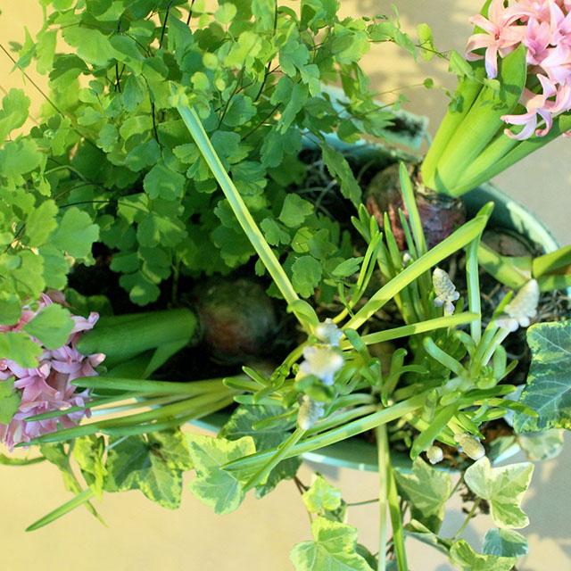식물을 심을 자리를 정하기 - 다른 식물보다 키가 큰 하야신스를 뒤쪽에 배치했다. 무스카리는 키가 작은 상태라도 자라는 속도가 빠르니 가장 자리나 뒤편에 심도록한다. 둥근 모양의 화분에는 삼각형을 이루도록 배치하는 것이 좋다.